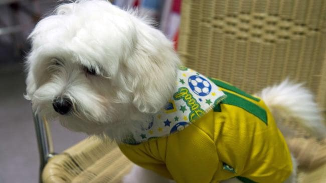A rather embarrassed looking dog wearing a Brazilian jersey.