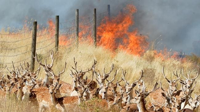 Deer pictured near the flames in Gisborne. Picture: Jay Town.