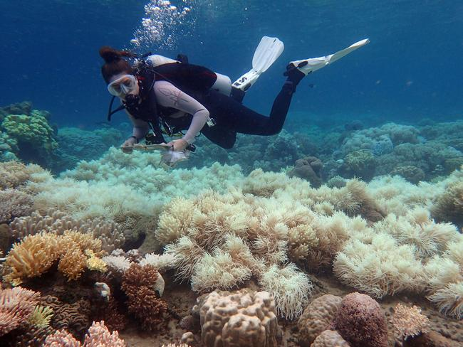 A diver examines bleaching on a coral reef on Orpheus Island. Picture: Greg Torda/AFP