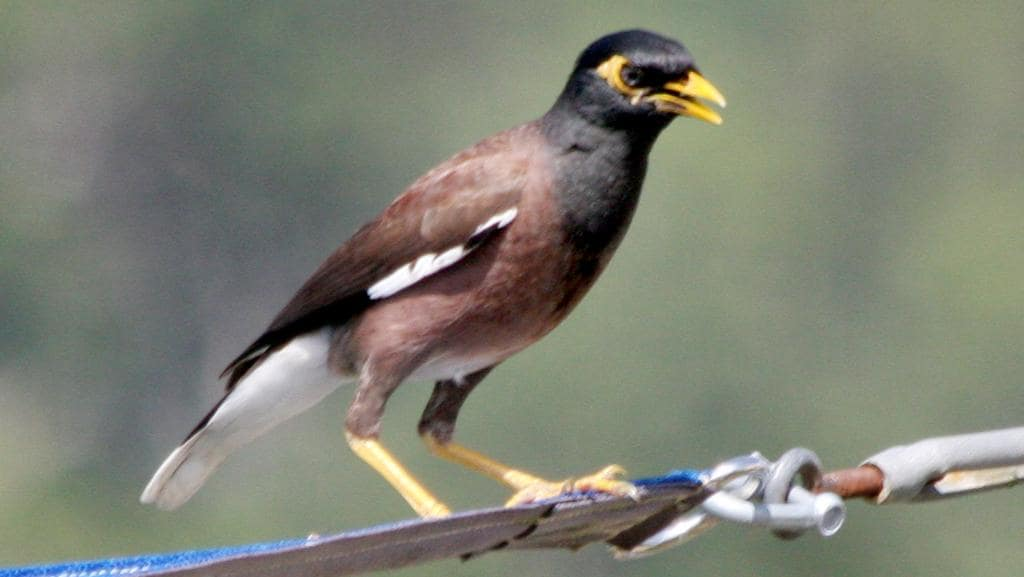Myna bird cull proves successful in Cairns | Cairns Post - photo#11