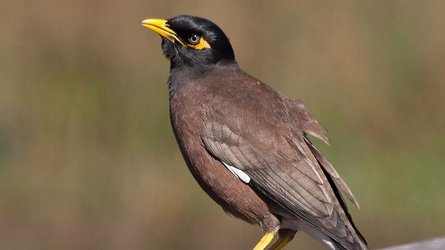 Environmentalists call on Knox Council to cull Indian myna ... - photo#17