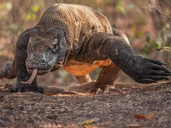 Komodo dragons are the world's largest lizard.
