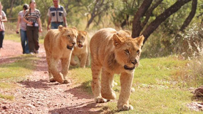 Walking with lions is a relatively new tourist experience. They are trained to walk 'safely' - sometimes on leads.