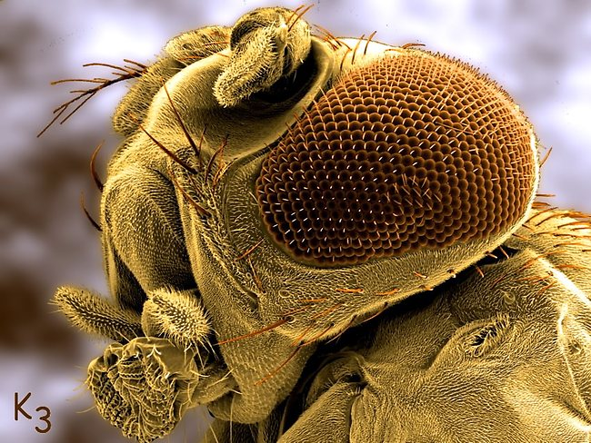 Drosophila or vinegar fly