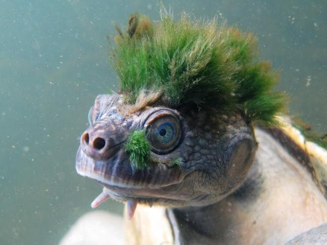 The Mary River turtle is under threat. Picture: Chris Van Wyk/ZSL/PA Wire
