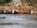 Cows are stranded in floodwaters after Isaac came through the region, in Plaquemines Parish, Louisianna. Picture: AP