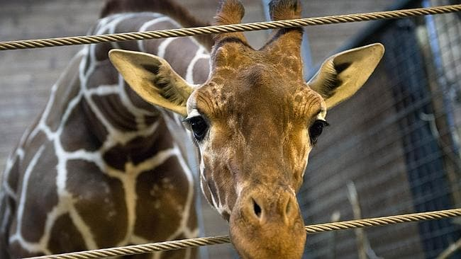 Marius ... the healthy young giraffe was put down at Copenhagen zoo. Pic: Kasper Palsnov.