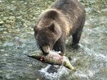 "<p><strong>BROWN BEARS FEASTING, ALASKA, USA</strong><br /> <br /> There's nothing like the flavour of flapping-fresh fish straight from the river, especially if you're a brown bear with a taste for dog salmon. <br /> <br /> From early summer shimmering masses of salmon return from their oceanic feeding grounds and head upriver to spawn. When they hit rapids and small cataracts they make easy prey for bears - it's a conveyor-belt sushi joint. <br /> <br /> At the falls on the McNeil River 1.5km upstream from its mouth in southwestern Alaska, huge brown bears, bulky from years of salmon feasts, gather to flip fish from the stream. <br /> <br /> Dozens of bears can be spotted at any one time.<br /> <br /> <strong>Where to catch it:</strong> Only 10 viewing permits are issued for each day between June and August, allocated through a lottery. For details, visit <a href=""http://www.wildlife.alaska.gov"">www.wildlife.alaska.gov</a><br /> <br /> <strong>Picture:</strong> Alan Vernon/Flickr</p>"