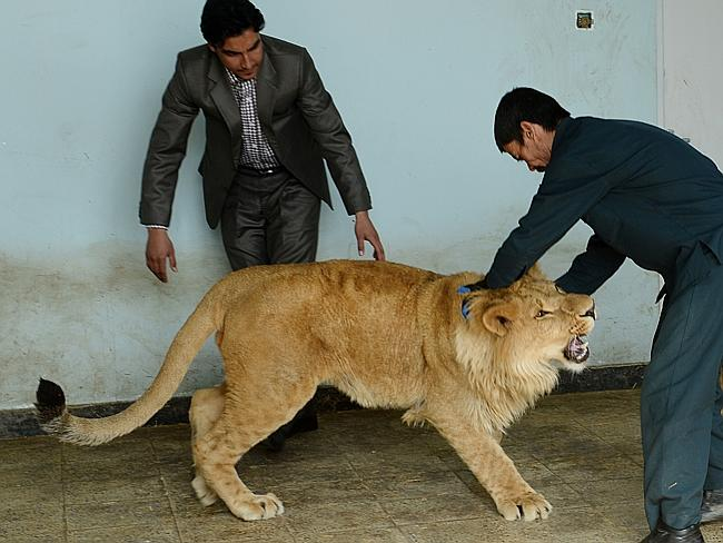 Lived on roof ... Afghan zookeeper Qurban Ali (R), 40, plays with male lion Marjan at Kab