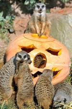 <p>Meerkats at the zoo in Leipzig, eastern Germany, inspect a carved pumpkin filled with flour worms and straw. Picture: AFP PHOTO / WALTRAUD GRUBITZSCH</p>