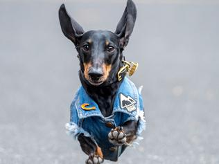 Dachshund Race for Octoberferst
