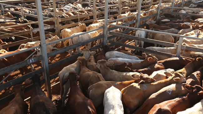 Auctioneers sell cattle to graziers at the Roma Cattle Sale Yards.