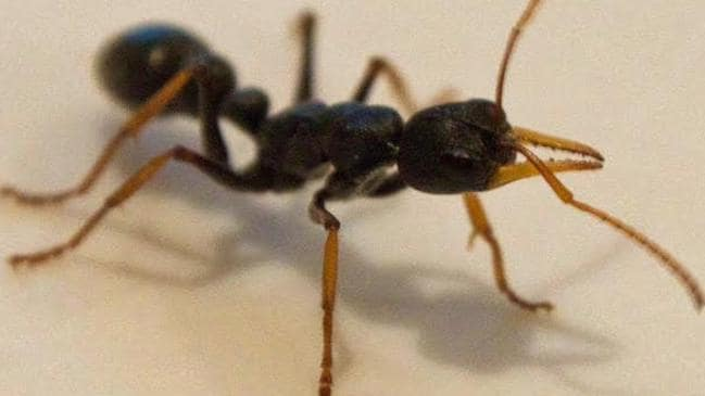how to get rid of jack jumper ants