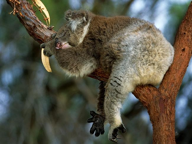 It's likely that mammals — like koala, who spend 19 hours a day sleeping — dream, too. Picture: National Parks and Wildlife Service NSW.