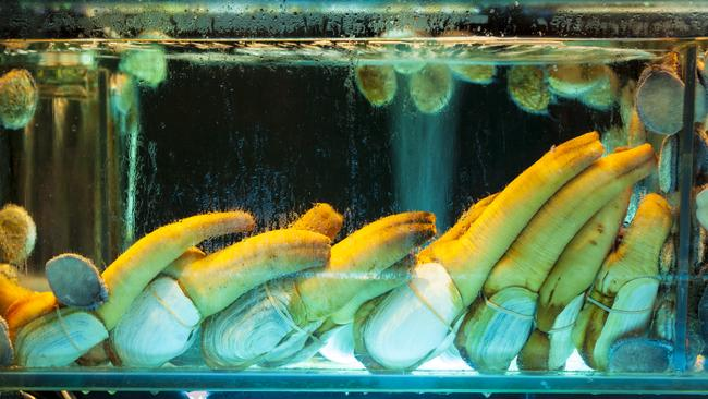 Geoducks on display in a Hong Kong restaurant aquarium with abalone.
