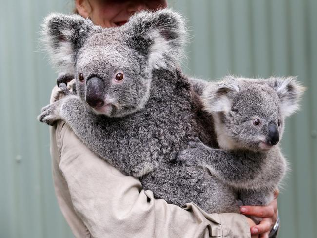 A baby koala at Symbio wildlife park at Helensburgh in Sydney. Picture: Adam Taylor