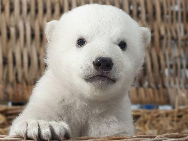 knut�s halfbrother is world�s most adorable baby polar