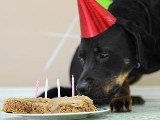 Misty the Rottweiler enjoys a birthday party. Pics Angie Simms.