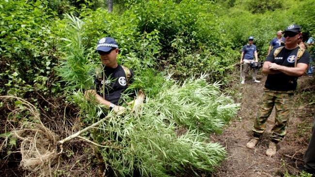 Of Former NSW Drug Squad Commander Detective Superintendent Nick Bingham, right, watches on as the new NSW Drug Squad Commander Detective Superintendent Tony Cooke removes some cannabis plants / Picture: Nathan Edwards