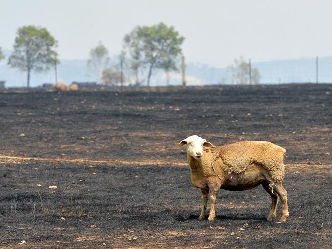 Devastation of the fires in Kilmore. Burnt sheep at Lowdens Road.