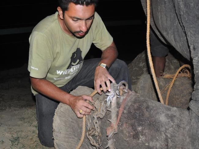 Raju is freed from his shackles by Wildlife SOS head vet Dr Yaduraj Khadpekar.