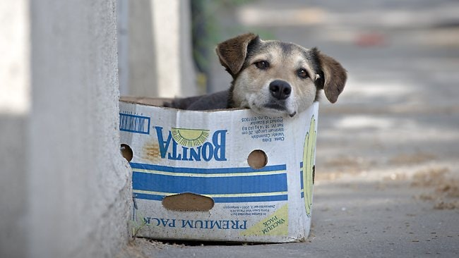 A street dog sits in a cardboard box, in Bucharest, Romania. The stray dog population of the Romanian capital is around 64,000, according to government sources.