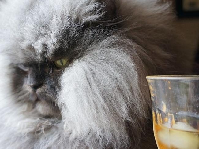 Meet Colonel Meow, the world's hairiest cat