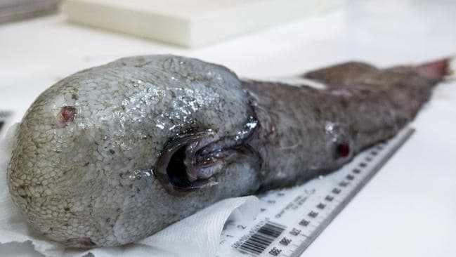 With no eyes and a Mona Lisa smile, the 'faceless' fish had the crew completely baffled when it was brought up from 4km below the surface. Picture: Museums Victoria / CSIRO