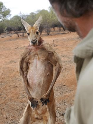 Do you even lift kangaroo - photo#10