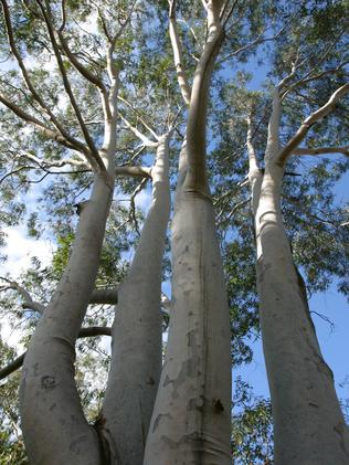 Tall gum trees (eucalypt, eucalyptus) in Padstow Heights, Sydney. Picture: Bob Barker