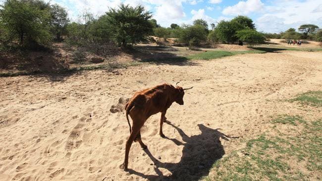 Impoverished cattle walk along a dried up river bed in the village of Chivi, Zimbabwe. Zimbabwean president Robert Mugabe has declared a state of disaster as the country struggles to deal with a drought in the region. Picture: Tsvangirayi Mukwazhi.