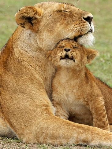 INCREDIBLY cute images of baby animals with their parents will warm your heart this winter proving once and for all that a mothers love really is unconditional - no matter what species you are. -- Pictured, a tender moment as a baby lion cub cuddles up to its mother. Picture: Picture Media