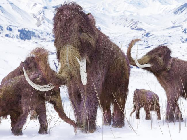 An illustration of a family of Woolly Mammoths grazing.