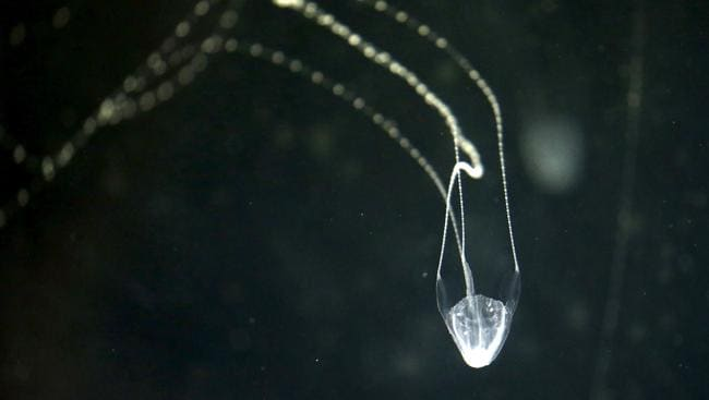 A man has been stung by Irukandji jellyfish in waters off Palm Island in North Queensland. Picture: Anna Rogers