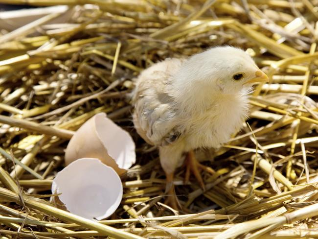 It takes 21 days in total for an egg to hatch. Picture: iStock.