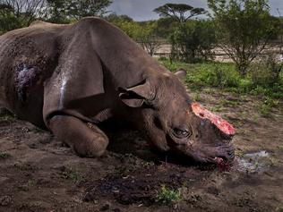 ONE TIME WEB USE WITH PROMO OF THE NATIONAL HISTORY MUSEUM'S 2017 WILDLIFE PHOTOGRAPHER OF THE YEAR AWARDS - SEEK PHOTOGRAPHER'S PERMISSION FOR REUSE - Wildlife Photographer of the Year 2017 Grand title winner Winner 2017 Wildlife Photographer of the Year Brent Stirton, South Africa Memorial to a species Taken as part of an undercover investigation into the illegal trade in rhino horn, Brent's winning image tells the evocative story of one of the trade's latest victims – a black rhino bull from South Africa's Hluhluwe Imfolozi Park. The poachers responsible are thought to have come from a local community, working to order. After entering the reserve illegally, they ambushed the rhino at a waterhole, shooting it dead before fleeing from its mutilated body. Picture: Brent Stirton/Wildlife Photographer of the Year/NHM