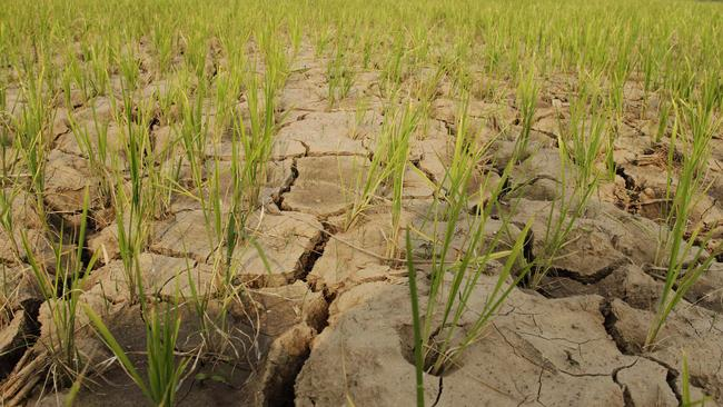 A rice field in North Korea, where the worst drought in a century has resulted in extensive damage to agriculture.