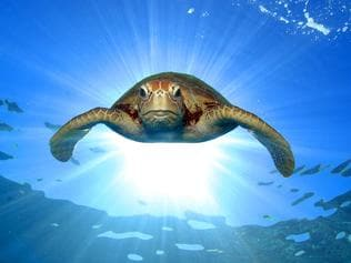 Turtle on the Great Barrier Reef. Image for Passport to Tropical North Queensland magazine. Photo courtesy of TTNQ.