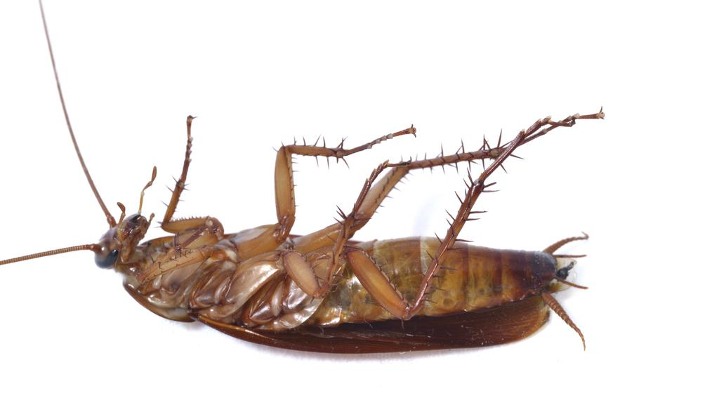 Cockroach found in Normanby Hotel meal | The Courier-Mail
