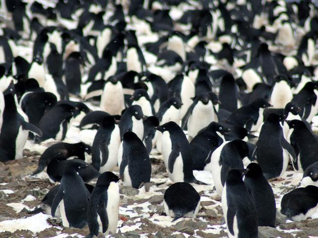 "A thriving ""hotspot"" of Adelie penguins has been discovered on the remote Danger Islands in the east Antarctic. Picture: AFP/Louisiana State University/ Michael Polito"