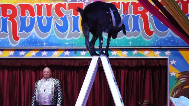 A goat climbs a ladder as part of the act in the Stardust Circus. Picture: Megan Palin.