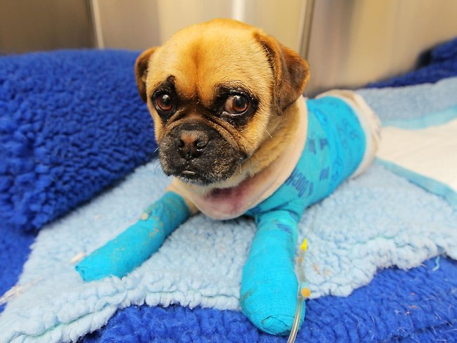 Survivor: Charlie the pug has burns to over 50 percent of his body from the Dunalley bushfires, he's being treated at Tasmanian Animal Hospitals in Bellerive. Picture: Richard Jupe/The Mercury