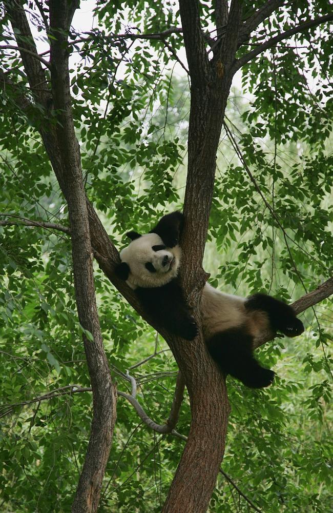 This panda is more relaxed than social media users.