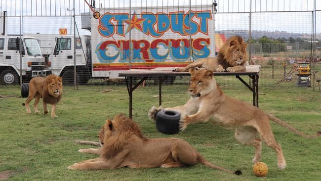Stardust Circus has six lions, three males and three females, which like to play with a tyre when not performing or sleeping. Picture: Megan Palin.