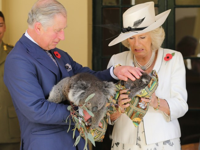 Do koalas bite? We feel like Camilla might know the answer. Photo: Chris Jackson/Getty Images