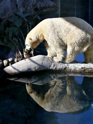 LEISURE TIME: Hudson the Polar Bear at Sea World Gold Coast.