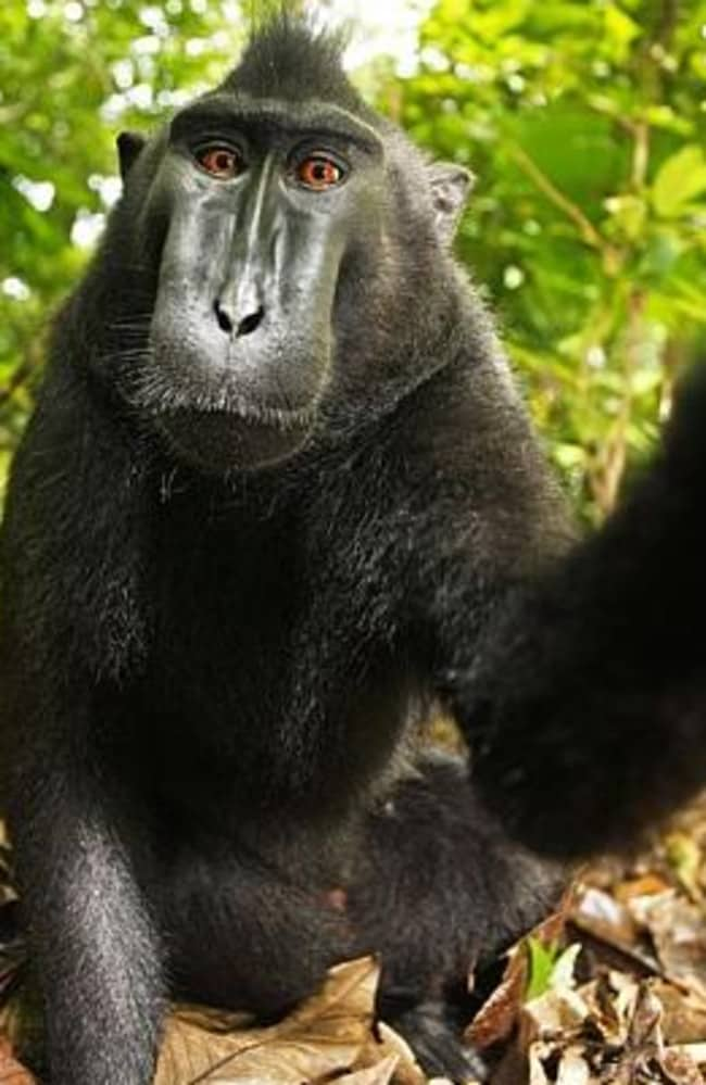 Strike a pose ... Naruto the macaque monkey took the photos in 2011 after a photographer left his camera unattended. Picture: Wikimedia/David Slater Source: Supplied