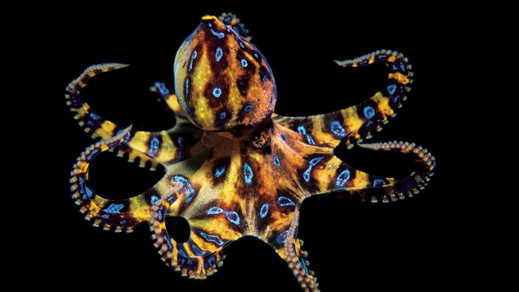 Blue Ringed Octopus Interesting Facts