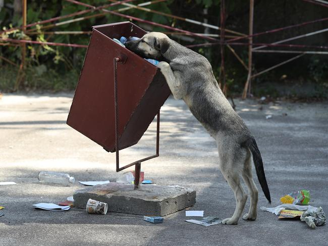 A tagged, stray dog sniffs for food in a trash can outside the workers cafeteria inside the exclusion zone. Picture: Getty Images