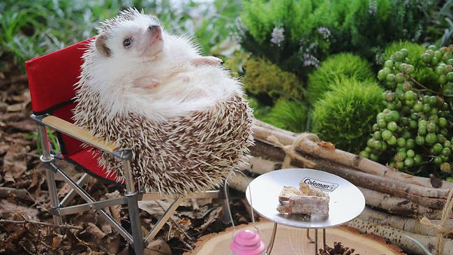 Azuki having the time of his life in the great outdoors. Source: hedgehog_azuki